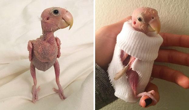 Todo el mundo adora a este agaporni sin plumas y le envían minijerséis para que no pase frío