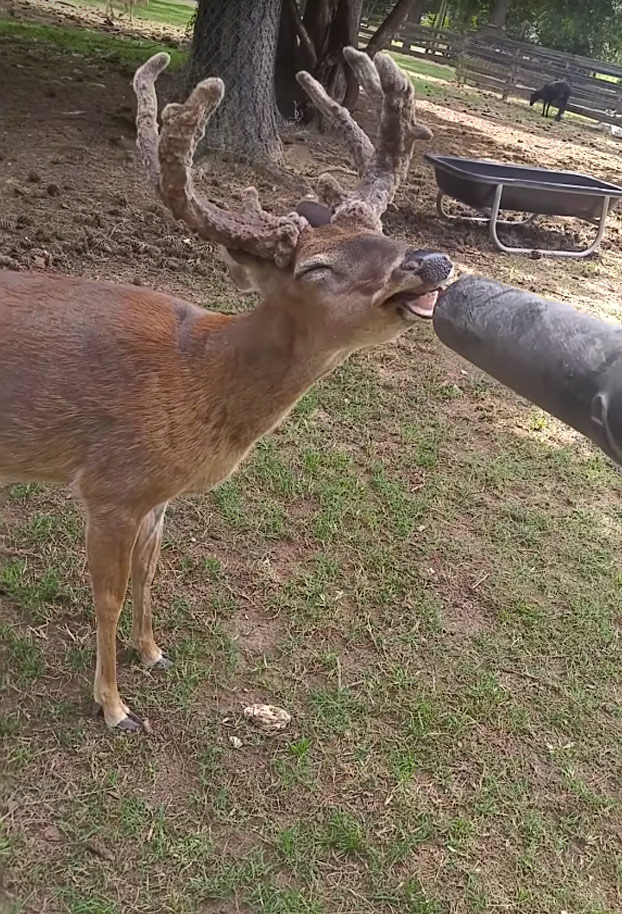 ciervo-soplador-de-hojas2