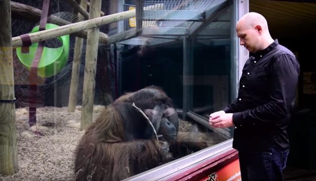 Este orangután alucina con el truco de magia de este mago