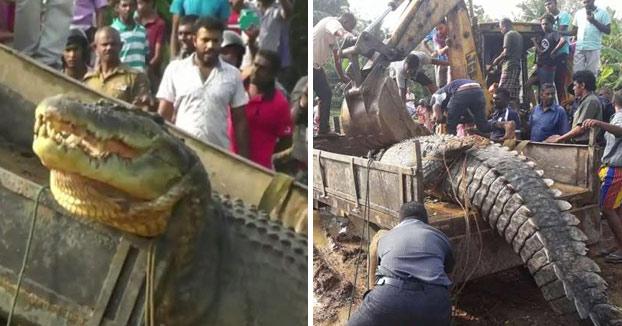 Rescatan a un cocodrilo de casi una tonelada que se había quedado atrapado en un canal (Vídeo)