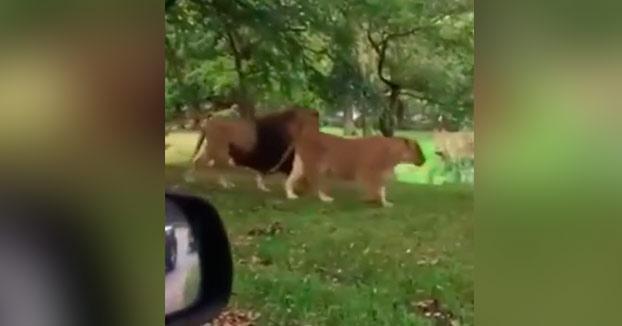Mira hijo, mira que preciosidad de leones...