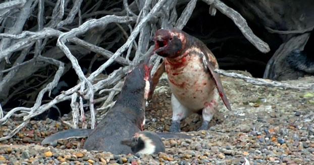 El marido llegó a casa y encontró a su esposa con otro: Sangrienta pelea entre dos pingüinos (Vídeo)