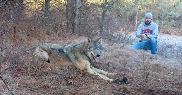 rescate-lobo-trampa