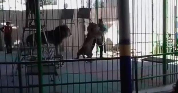 Un león ataca a su entrenador durante un show de circo bajo la mirada de decenas de niños. El hombre ha fallecido (Vídeo)