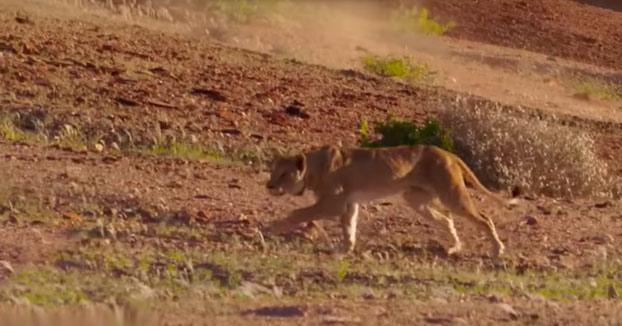 Espectacular momento en el que un león intenta atacar a una jirafa (Vídeo)