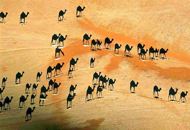 Una de las mejores fotos de National Geographic. Los camellos son los blancos de la imagen. Lo negro son sus sombras