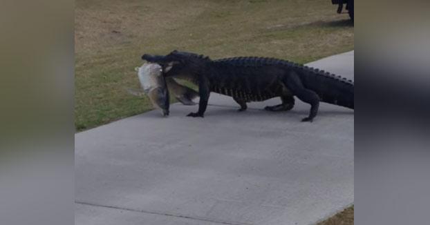 Unos golfistas graban como un cocodrilo pasa por delante de ellos con un enorme pez en la boca
