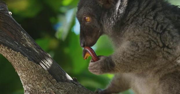 Los lémures se colocan comiendo ciempiés venenosos (Vídeo)