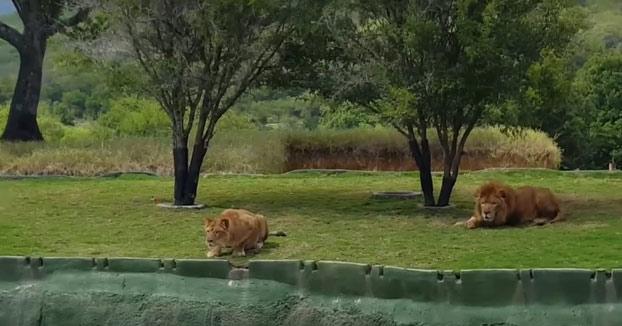 Una leona intenta atacar a unos visitantes del bioparque y acaba cayendo al foso