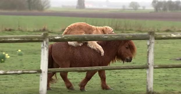 El perro al que le gusta cabalgar encima de su amigo el poni