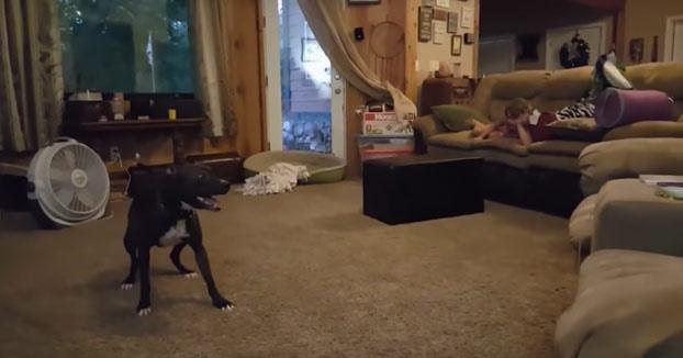 Este pit bull hace que los niños no puedan parar de reír