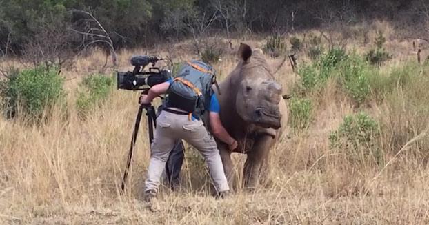 Este rinoceronte se deja grabar para documentales a cambio de que le rasquen