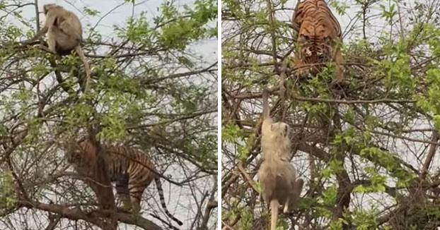 Tigre se sube a las ramas de un árbol para intentar atrapar a un mono