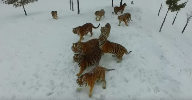 Quiso grabar a unos tigres siberianos con su drone y se quedó sin él (Vídeo)