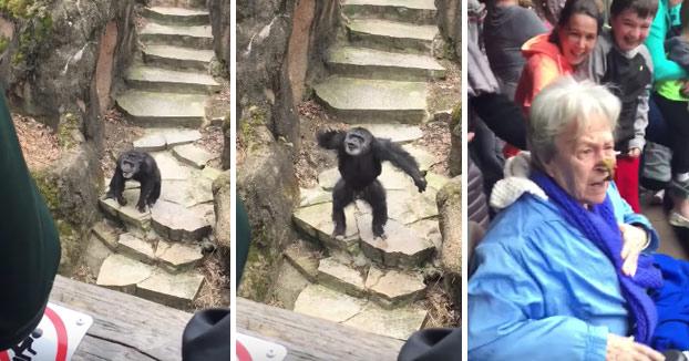 Un chimpancé le lanza sus heces a los visitantes y le da en la cara a una abuela