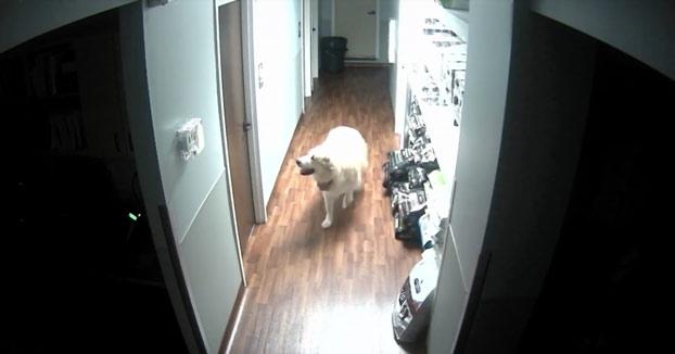 Un perro logra abrir tres puertas y escapa del veterinario (Vídeo)