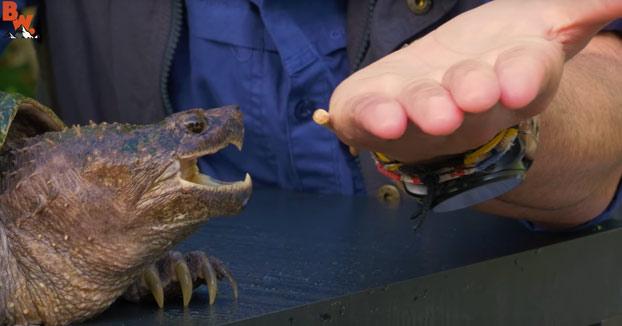 Un youtuber se deja morder por una tortuga mordedora