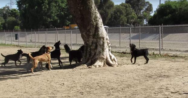 Una ardilla se cuela en un parque para perros y casi no la cuenta
