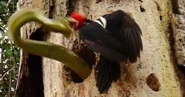 El pájaro carpintero que defendió a muerte su nido de una serpiente