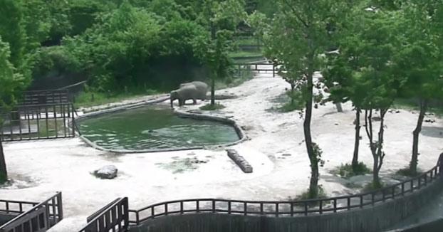 Un bebé elefante cae en un estanque y sus padres corren rápidamente a salvarlo
