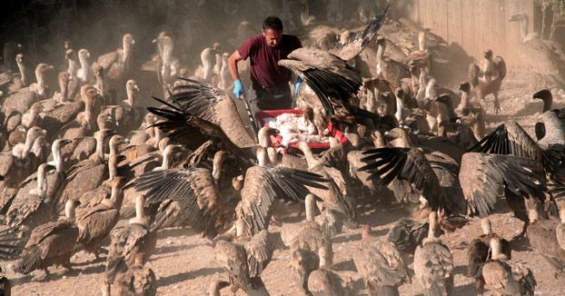 Buitreman: 20 años dando de comer a cientos de buitres en Teruel
