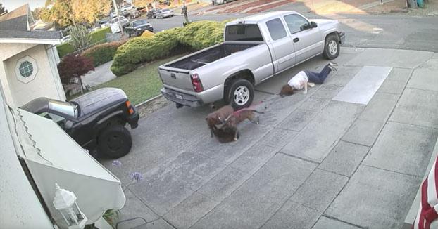 El brutal ataque de dos pitbulls a un gato que sobrevivió finalmente de milagro