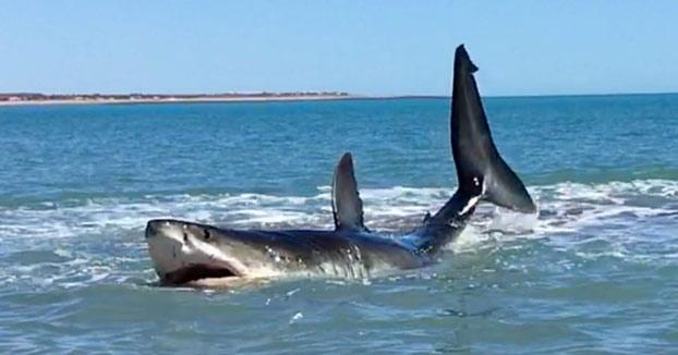 Se encuentran con un enorme tiburón blanco herido a orillas de la playa