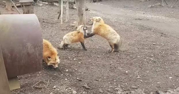 Estos dos zorros se ponen a gritar en plena discusión