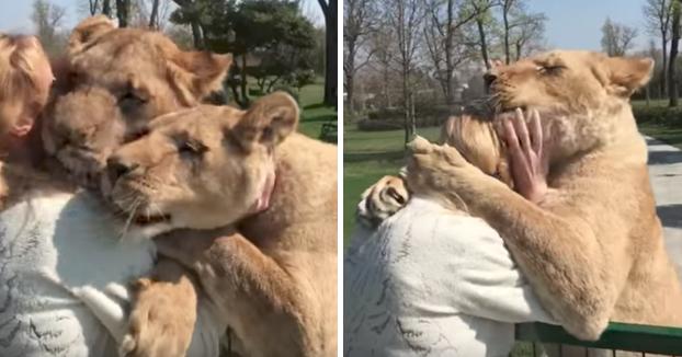 Se reencuentra con sus dos leonas adoptadas después de 7 años sin verse