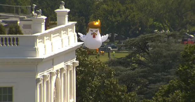 Aterriza junto a la Casa Blanca un pollo hinchable gigante que se parece a Trump
