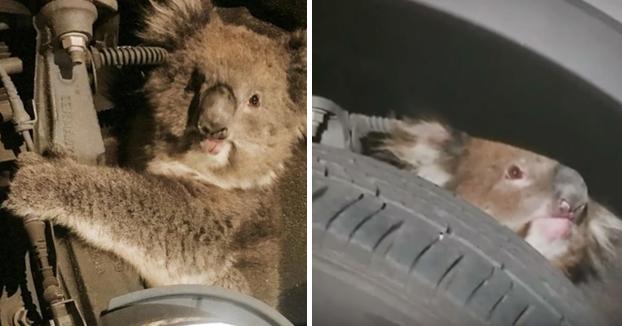 Koala sobrevive a un viaje de 16 kilómetros agarrado a la suspensión de un coche