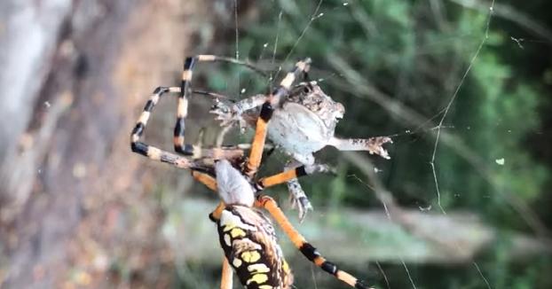 Graba como una araña bananera envuelve en su tela a un sapo atrapado