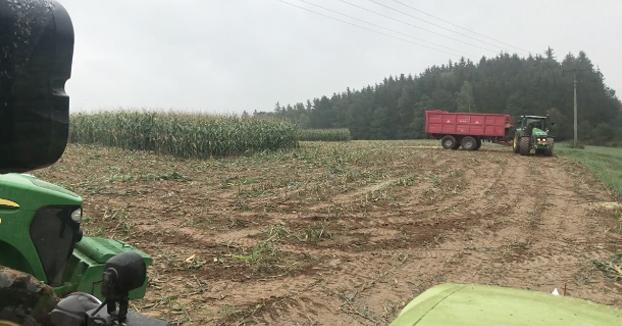 Sorpresa en medio de la cosecha de maíz