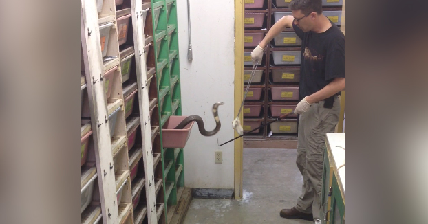 No es fácil el trabajo de dar de comer a cobras de monóculo