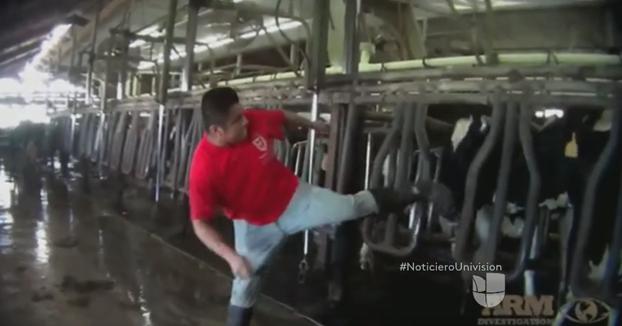 Descubren el maltrato al que son sometidas las vacas en una de las granjas más importantes de Estados Unidos