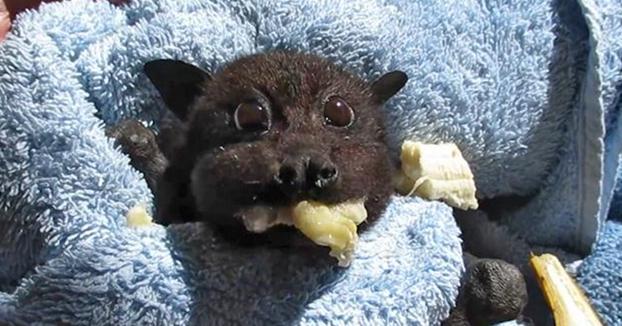 Bebé murciélago rescatada se llena los mofletes de plátano después de ser atropellada. Te sacará una sonrisa