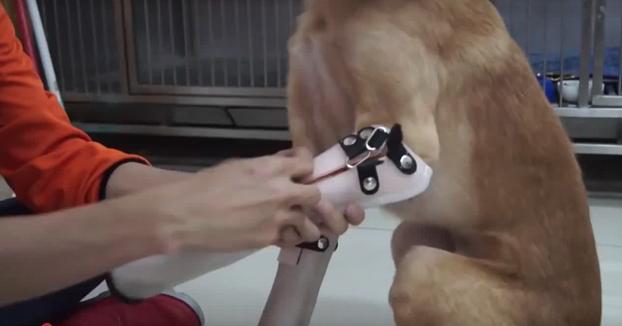 La alegría de un perro al estrenar prótesis