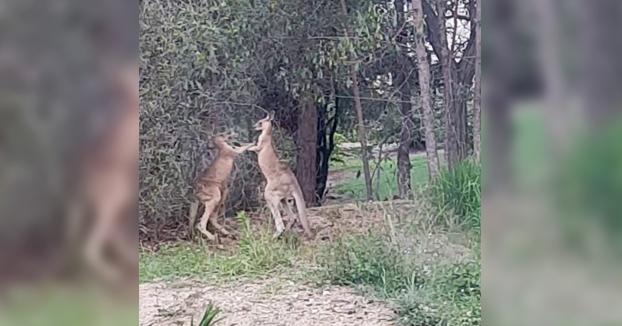 Un hombre frena una pelea entre dos canguros: ''¿Qué pensarían vuestros padres??''