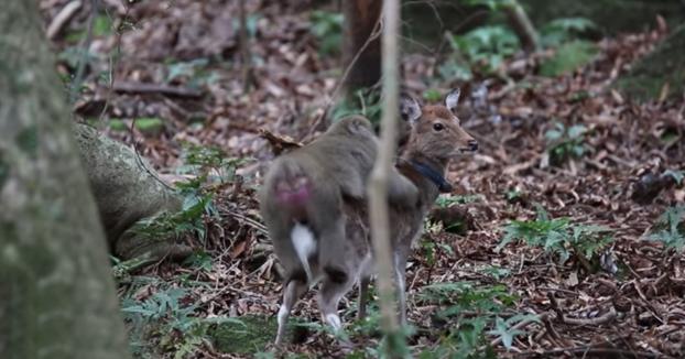 Extraña pareja: Un mono intenta mantener relaciones sexuales con un ciervo