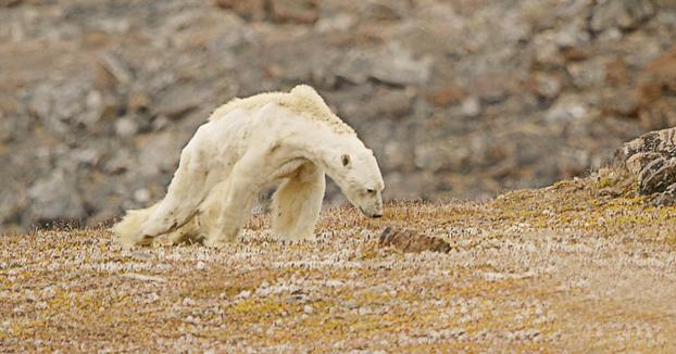 Graban la desgarradora muerte de un oso polar hambriento para concienciar sobre el calentamiento global