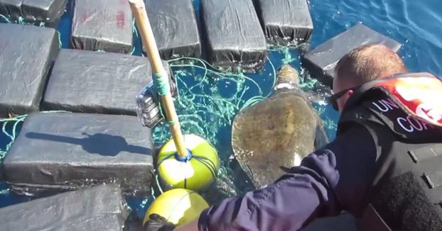 Rescatan a una tortuga enredada entre 800 kilos de cocaína