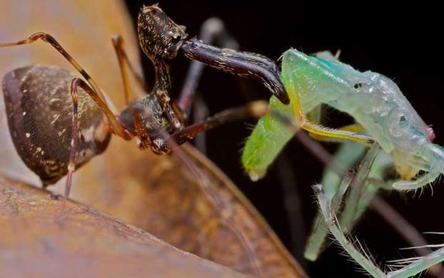 Científicos descubren araña caníbal con forma de pelícano