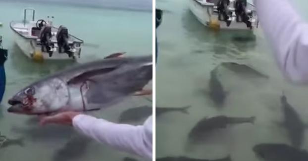Un grupo de Giant Trevallys devoran en segundos un yellowfin de 7 kilos que les tiran unos pescadores