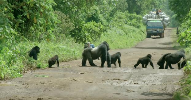 Un gorila espalda plateada para el tráfico para poder pasar por la carretera con su familia
