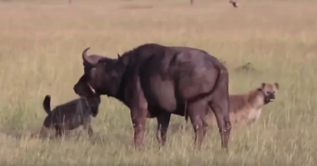 Hienas cazan un búfalo y se lo comen vivo