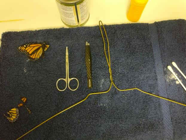 Transplante de ala de mariposa monarca