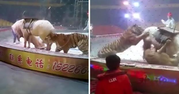 Un tigre y una leona atacan a un caballo en plena función de un circo