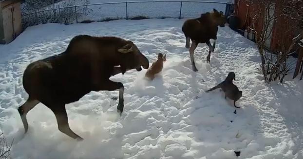 Un enorme alce salta al patio trasero de una casa y ataca al cocker de una familia