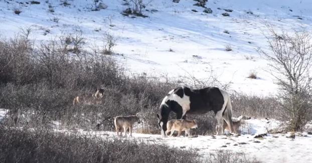 Un caballo se acerca a una manada de lobos. Espera un momento...
