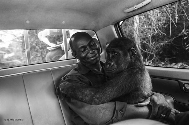 El rescate de la gorila Pikin, mejor fotografía del año del Wildlife Photographer of the Year, según el público
